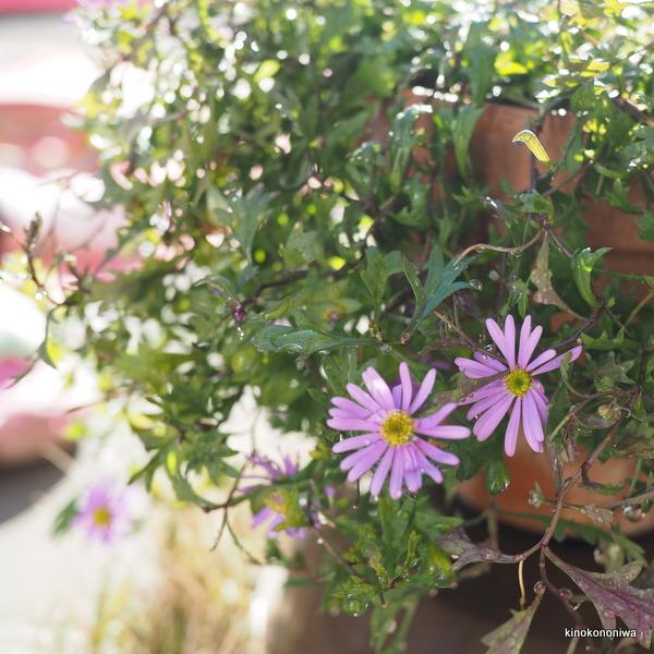 育てやすい花 ブラキカム