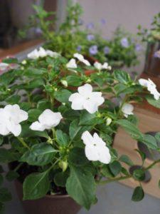 100均の植木鉢に植えたインパチェンス