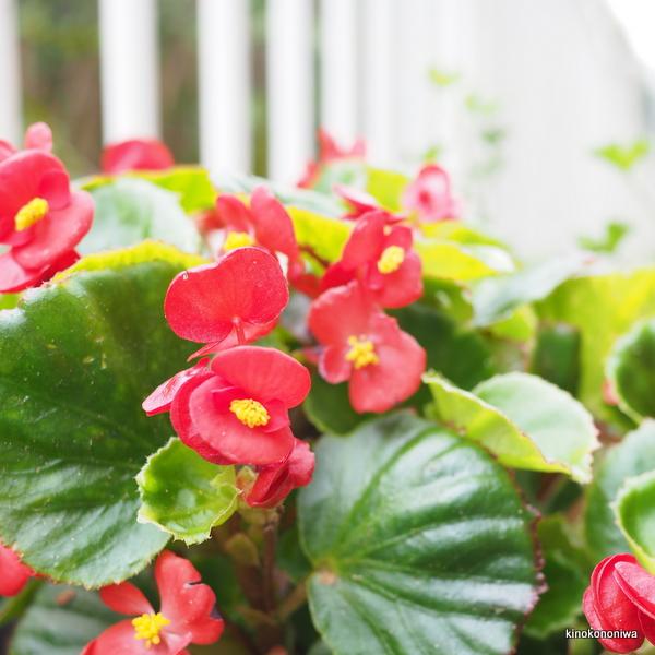 育てやすい花 ベゴニア