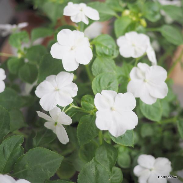 育てやすい花 インパチェンス