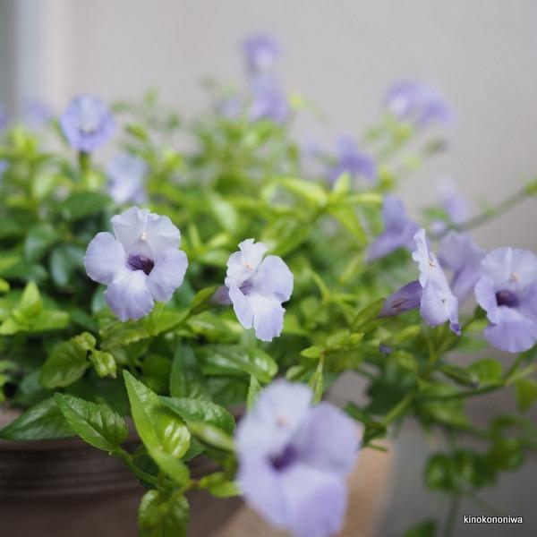 育てやすい花 トレニア