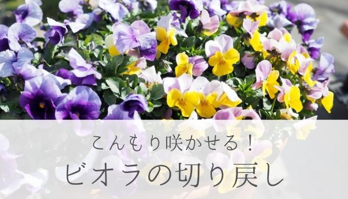 こんもり咲かせる ビオラの切り戻し(摘芯・ピンチ)の方法