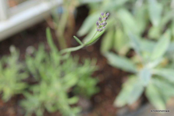 挿し芽から育ったラベンダー