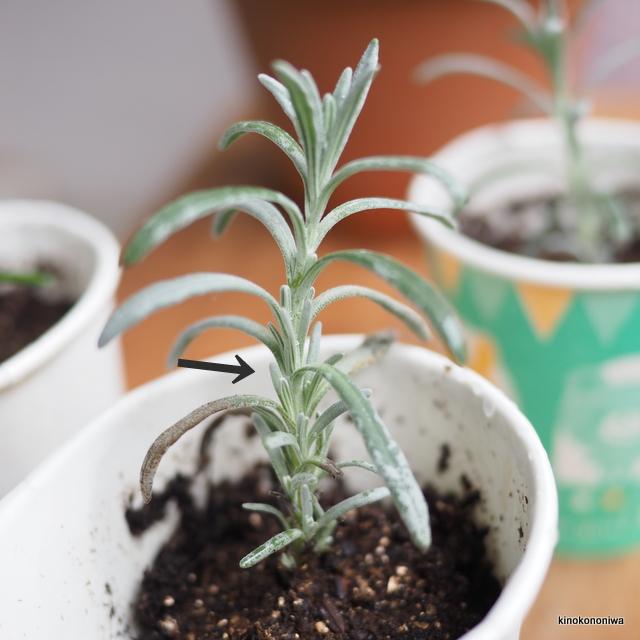 ラベンダー 挿し木の新芽