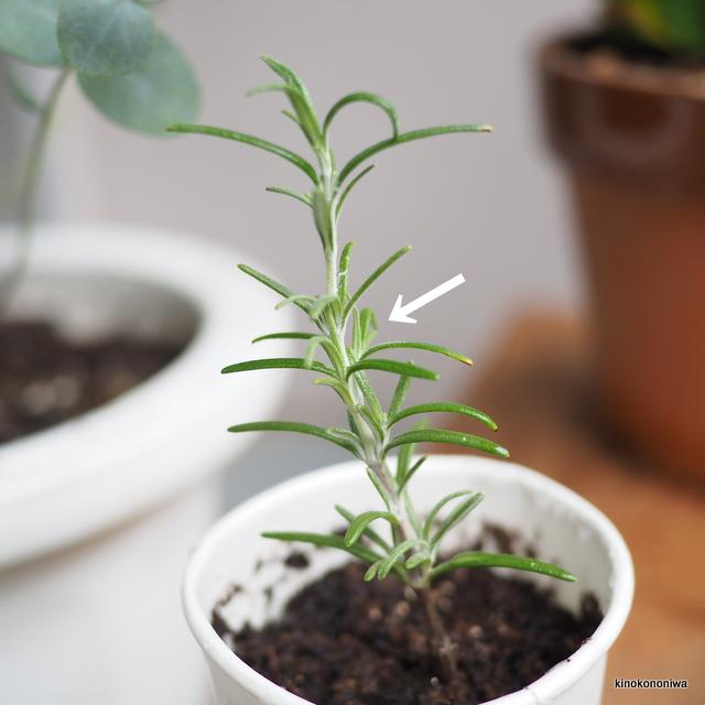 ローズマリー 挿し木の新芽