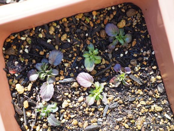 ビオラ 挿し芽