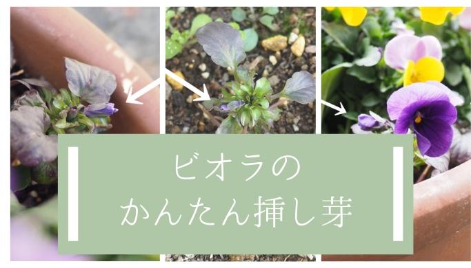 ビオラ挿し芽の開花