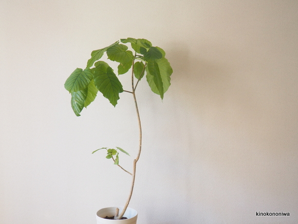 育てやすい観葉植物 ウンベラータ