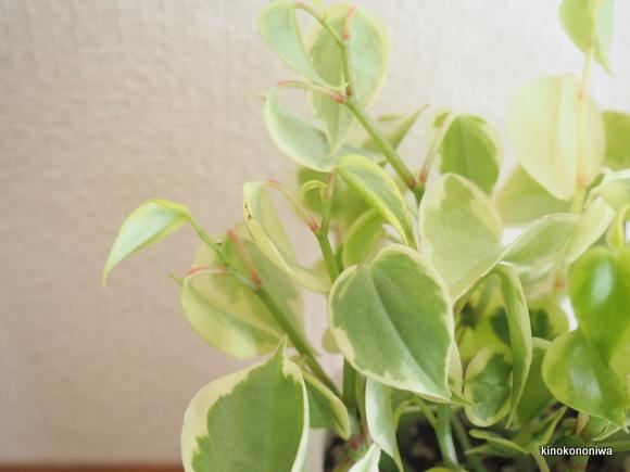育てやすい観葉植物 ペペロミア
