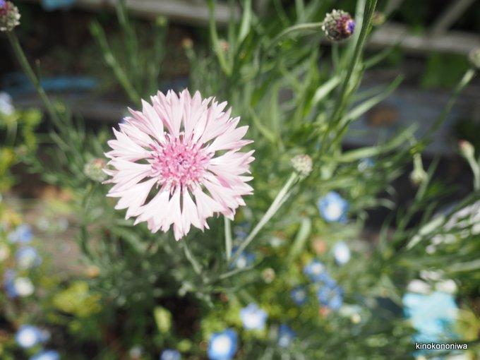 ヤグルマギクの開花