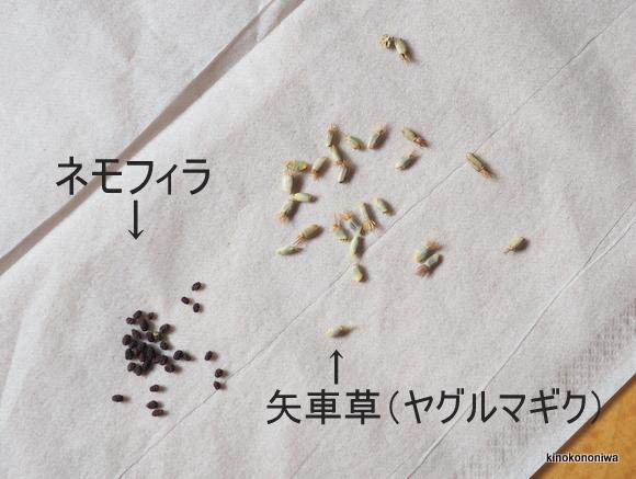 矢車草とネモフィラの種まき