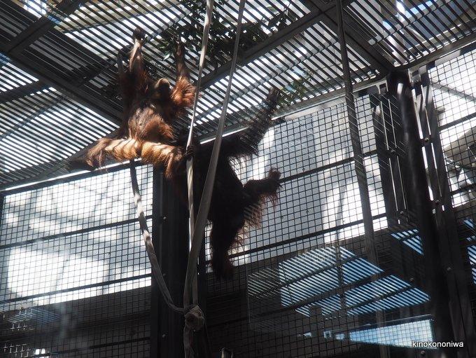 多摩動物公園のオランウータン