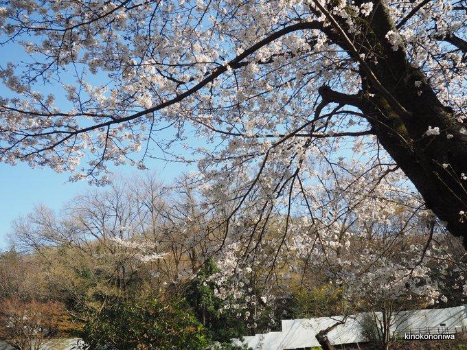 多摩動物公園の桜
