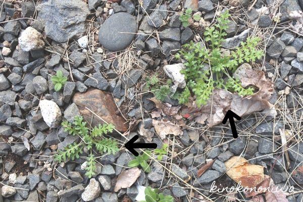 こぼれ種のネモフィラ
