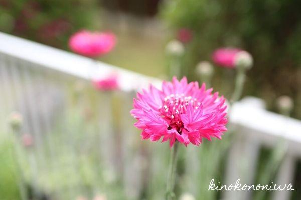 ピンクのヤグルマギク