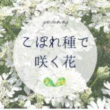 こぼれ種で咲く花でお手軽ガーデニング
