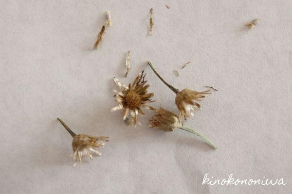 ヤグルマギクの種