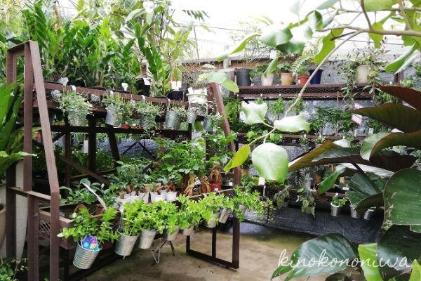 ソルソファーム観葉植物