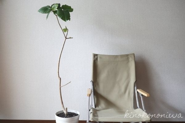 ウンベラータの挿し木