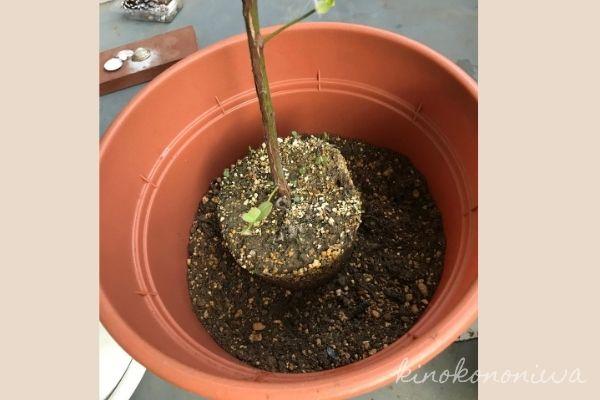 ブルーベリーの植え付けと栽培