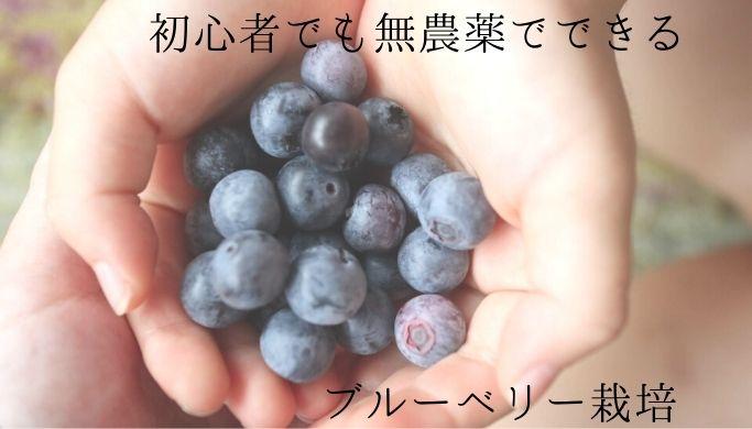 家庭菜園初心者が無農薬・鉢植えでブルーベリー栽培にチャレンジ中