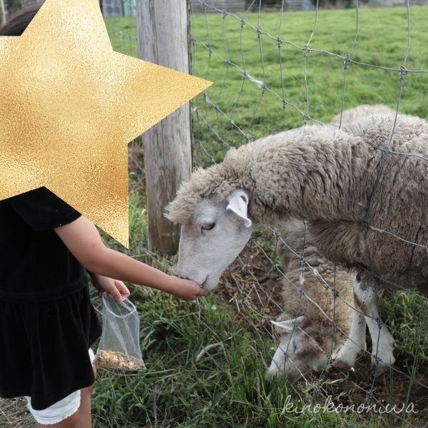 服部牧場の羊