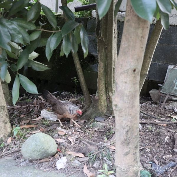 服部牧場の鶏