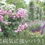 初心者だけど、無農薬でバラを育てたい!おすすめ品種を調べてみました